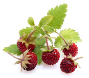 Woodland strawberries Royalty Free Stock Images