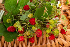 Woodland Strawberries in close-up Royalty Free Stock Photos