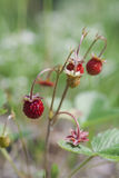 Woodland strawberries Royalty Free Stock Photography