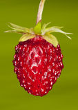 Woodland strawberry. Closeup of a ripe woodland strawberry Royalty Free Stock Photos