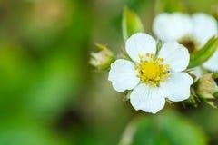 Woodland strawberry flowering Stock Photography