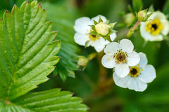 Woodland strawberry flowering. Woodland strawberry (Fragaria vesca) with shallow focus. Blooming plant Royalty Free Stock Photos