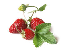 Woodland Strawberry (Fragaria vesca) Royalty Free Stock Photo