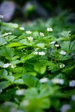 Woodland strawberry. Fragment of spring fresh strawberry patch with flowering strawberries Stock Photo