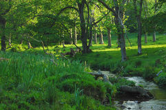Woodland stream. A gentle woodland stream with sunlight shining through the branches Stock Photo