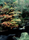 Woodland Stream. In fall with blurred water Stock Image
