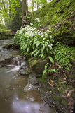 Woodland Stream. And typical wild flowers of a Lancashire woodland Royalty Free Stock Photo