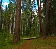 Woodland Stroll. Hiking trail at Cold Springs Campground near Sisters, OR royalty free stock photography