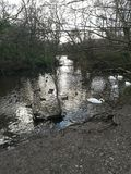 Woodland. Tehidy, Cornwall, swans, reserve royalty free stock photo