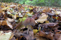 Woodland toad stool or mushrooms. In fall autumn with leaves Royalty Free Stock Photo