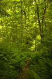 Woodland trail. In summer time through hardwood trees and ferns Stock Photos