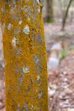 Woodland Tree Trunk with Orange Moss and Lichen. ~WOODLAND~ Close Up of a Woodland Tree Trunk with Orange Moss and Lichen stock photo