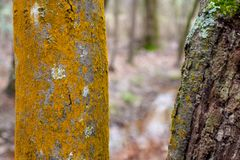 Woodland Tree Trunks with Textured Mosses Background royalty free stock photo