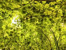 Woodland Trees Canopy. A woodland scene, viewed looking up into the top of  deciduous trees Royalty Free Stock Photography
