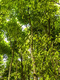 Woodland Trees in Summer. Woodland trees in the summer with the sunshine filtering through giving a soft dappled sunlit picture Royalty Free Stock Photography