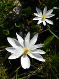 Woodland: two bloodroot flowers stock image