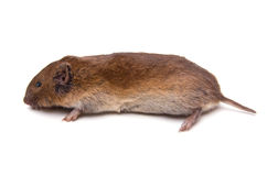 Woodland Vole Stock Photography