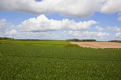 Woodland and wheat fields Stock Images