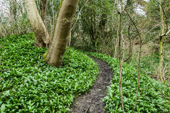 Woodland with wild garlic Royalty Free Stock Photos