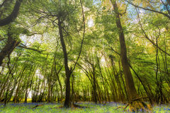 Free Woodland With Bluebell Carpet Stock Image - 40551791