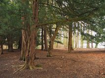 Woodland with yew trees in winter sunlight Stock Image