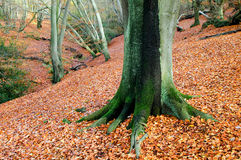 Woodlands. A view of a woodland carpeted in leaves with a tree trunk in the foreground Stock Photo