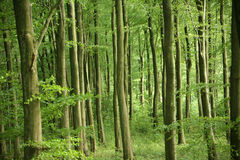 Woodlands. A verdant woodlands the image is full of green Royalty Free Stock Photos