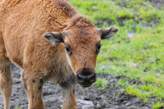 Woodlands Bison Calf Royalty Free Stock Photography