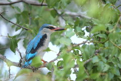 Woodlands Kingfisher. The bird was in a tree near the lodge. They are common in the bush veld of the Kruger Park Stock Photos