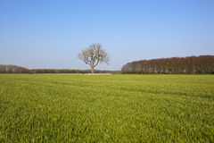 Woodlands wheat and ash tree. A green wheat field in springtime with woodlands and an ash tree under a clear blue sky in the yorkshire wolds stock photos