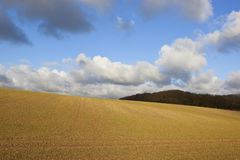 Woodlands and wheat. Hillside newly sown wheat crop with woodlands in a yorkshire wolds landscape under a blue sky with fluffy clouds in autumn royalty free stock photography