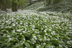 Woodlans Flowers. Woodland plants Ramsons flowering in Springtime Stock Photo