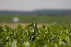 Woodlark Royalty Free Stock Images