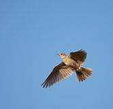 Woodlark in flight Royalty Free Stock Photo
