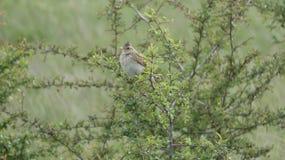 Woodlark que oculta en un arbusto en un d?a hermoso en Essex foto de archivo