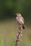 Woodlark. Wood Lark. Lullula arborea. Stock Photography