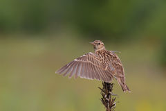 Woodlark. Wood Lark. Lullula arborea. Royalty Free Stock Images
