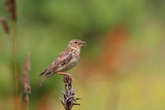 Woodlark. Wood Lark. Lullula arborea. Stock Photo