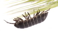 Woodlice bug Royalty Free Stock Images