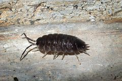 Woodlice Royalty Free Stock Photography