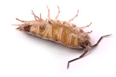 Woodlice Porcellio scaber isolated Royalty Free Stock Photos