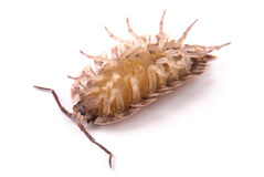 Woodlice Porcellio scaber isolated Royalty Free Stock Photography