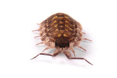 Woodlice Porcellio scaber isolated Stock Photography