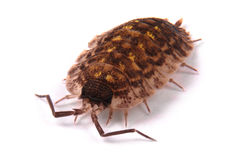 Woodlice Porcellio scaber isolated Stock Image