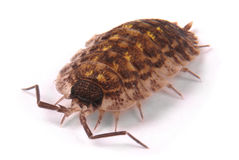 Woodlice Porcellio scaber isolated Stock Photos