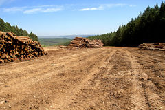 Woodlogs del árbol de pino en la plantación Imagenes de archivo