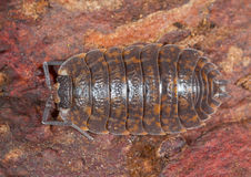 Woodlouse. A Brown Spotted Woodlouse photohraphed in nature Stock Photo
