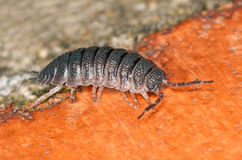 Woodlouse Immagine Stock