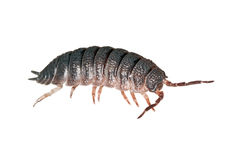 Woodlouse. Also known as armadillo bug isolated royalty free stock image