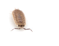 Woodlouse Stockbild